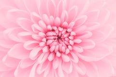 Różowa chryzantema Obrazy Royalty Free