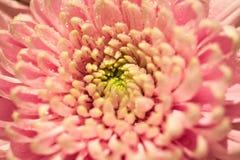Różowa chryzantema Fotografia Stock