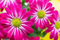 Różowa chryzantema na żółtych tło Fotografia Stock