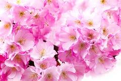 Różowa czereśniowego okwitnięcia gałąź, Sakura kwiaty Obraz Royalty Free