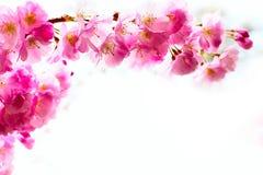 Różowa czereśniowego okwitnięcia gałąź, Sakura kwiaty Fotografia Royalty Free