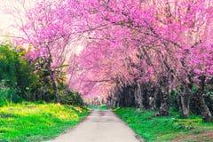 Różowa czereśniowego okwitnięcia scena i drogi przemian natury tło Obrazy Royalty Free