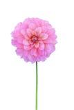 Różowa dalia odizolowywająca na białym tle Fotografia Royalty Free