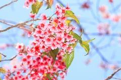Różowa Dzika Himalajska wiśnia Zdjęcia Royalty Free