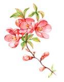 Różowa gałąź w okwitnięcie ilustraci ilustracja wektor