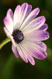 Różowa gerber stokrotka makro- z wodnymi kropelkami na płatkach Fotografia Royalty Free