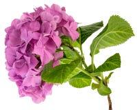 Różowa hortensi gałązka Zdjęcia Stock