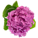 Różowa hortensi gałązka Obraz Royalty Free