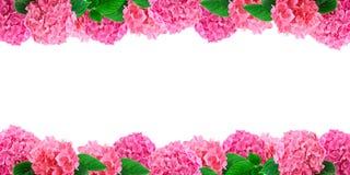 Różowa hortensia kwiatów rama na białym hortensja kwiatu tle z bezpłatną przestrzenią dla teksta Obrazy Stock