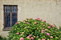 Różowa hortensia roślina przed ścianą Obrazy Stock