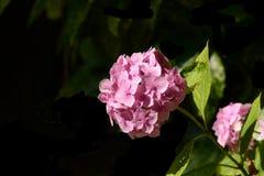 Różowa hortensja przed ciemnym tłem Obraz Stock