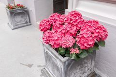 Różowa hortensja w garnkach Plenerowy na lata patiu Małego domu miejskiego lata odwiecznie ogród austria Vienna Fotografia Royalty Free
