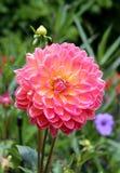 Różowa i żółta chryzantema fotografia royalty free