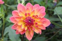 Różowa i żółta chryzantema obrazy royalty free