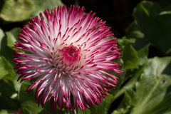 Różowa i Biała Angielska stokrotka Obraz Royalty Free