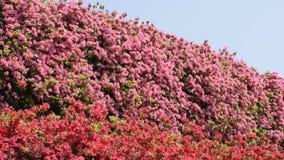 Różowa i czerwona azalia zbiory wideo