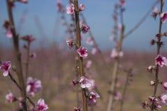 Różowa i oszałamiająco brzoskwini okwitnięcia plantacja Zdjęcie Stock