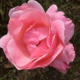 Różowa imperatorowa fotografia royalty free