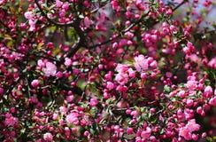 Różowa Japońska śliwka w kwiacie Fotografia Stock