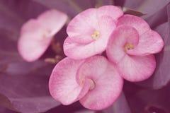 Różowa kolorów tło korona ciernie kwitnie naturę, miękka ostrość piękni kwiaty z kolorów filtrami Zdjęcie Stock