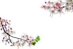 Różowa kwiat gałąź odizolowywająca na bielu. zdjęcia royalty free