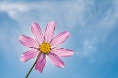 Różowa kwiat stokrotka z trzonem na błękitnym tle, abstrakcjonistyczny tło Obraz Stock