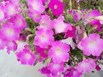 Różowa kwiatu przedstawienia tła tekstura Fotografia Stock