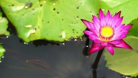 różowa lotos rzeka zbiory wideo