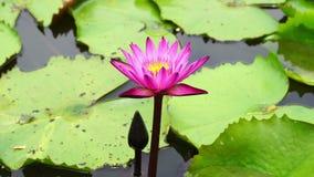 różowa lotos rzeka zbiory
