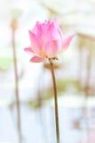 Różowa lotos woda z jaskrawym tłem Fotografia Royalty Free