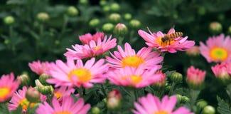 Różowa mała chryzantema Obrazy Royalty Free