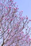 Różowa magnolia kwitnie Na niebieskiego nieba tle zdjęcia stock