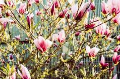 Różowa magnolia w szczególe obraz stock