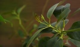 Różowa mandevilla gałąź bez kwiatów na brown drewnianym backgroun zdjęcia stock