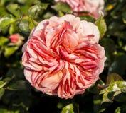 Różowa ogród róża zamknięta w górę fotografii fotografia stock