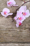 Różowa orchidea (Phalaenopsis) Obraz Royalty Free