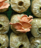 Różowa ostrygowa pieczarka na ikrą zdojest (Pleurotus djamor) obraz stock