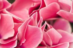 Różowa płatka tła tekstura w zakończenie up szczególe zdjęcie stock