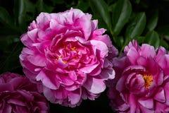 Różowa peoni roślina w ogródzie z trzy kwiatami, jeden podkreślający wieczór słońcem obrazy royalty free