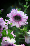 Różowa petunia na natury tła zakończeniu up Zdjęcie Royalty Free