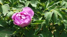 Różowa połówka rozwijał kwiatu peoni Paeonia suffruticosa w łagodnym popióle, 4K zbiory