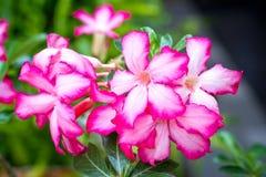 Różowa pustynia Różana lub Impala lelui kwiat Obraz Stock