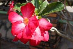 Różowa pustynia Różanej lub Impala lelui kwiat Obraz Stock