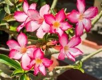 Różowa pustynia Wzrastał jako Adenium, Impala leluja lub egzamin próbny azalia z Naukowym imieniem: Jeden popularny kwiat dla dom Zdjęcie Royalty Free