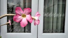 Różowa pustynia wzrastał przy białym okno Fotografia Royalty Free