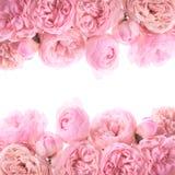 Różowa róży granica fotografia stock