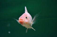 Różowa ryba zdjęcia stock