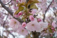Różowa Sakura gałąź, bokeh tło Zdjęcia Royalty Free