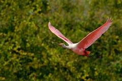 Różowa spoonbill komarnica Spoonbill ptak Piękny wschód słońca z ptakiem, Platalea ajaja, Roseate Spoonbill w wodnym słońce plecy Obrazy Royalty Free