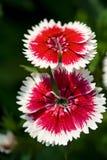 różowa tęcza Fotografia Royalty Free